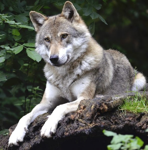 (Non BRA Event) Wolves – Who are our New Neighbours?